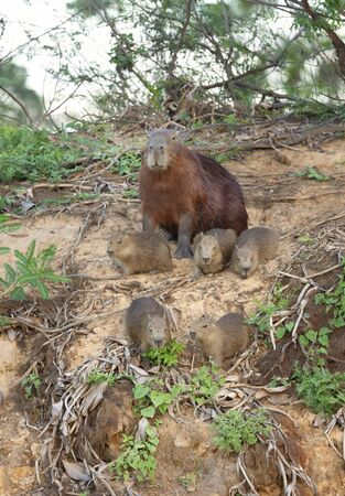 Close up of Capybara mother with group of pups sitting on a river bank, North Pantanal, Brazil.