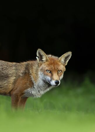 Close up of a Red fox (Vulpes vulpes) against dark background, England, UK.