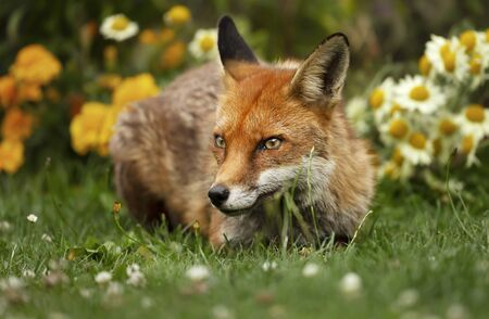 Close up of a red fox (Vulpes vulpes) lying in the back garden with flowers, UK. Stock Photo