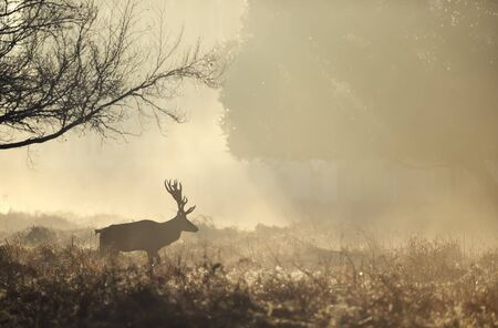 Close up of a Red deer walking at sunrise, UK. Stock Photo - 148498450