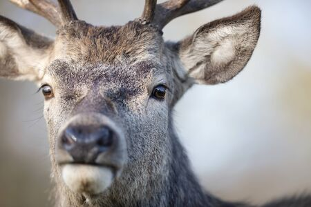 Portrait of a red deer stag against clear background, UK. Stock Photo