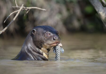 Close up of a giant river otter eating a fish in a natural habitat, Pantanal, Brazil.