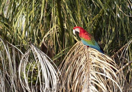 Close up of a red-and-green macaw (Ara chloropterus) perched on a tree, South Pantanal, Brazil.