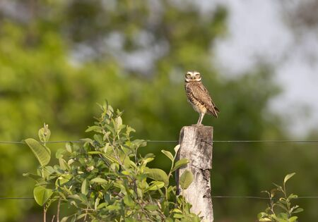 Burrowing owl perched on a fence post, Pantanal, Brazil. Stock Photo - 148498474