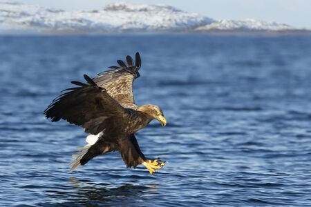 Close up of a White-tailed sea Eagle (Haliaeetus albicilla) trying to catch a fish, Norway. Stock Photo