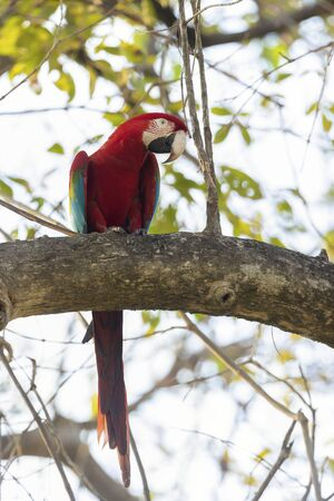 Close up of a red-and-green macaw (Ara chloropterus) perched on a tree branch, South Pantanal, Brazil.