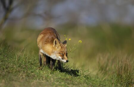 Close up of a red fox (Vulpes vulpes) standing in the meadow. Stock Photo - 147614397