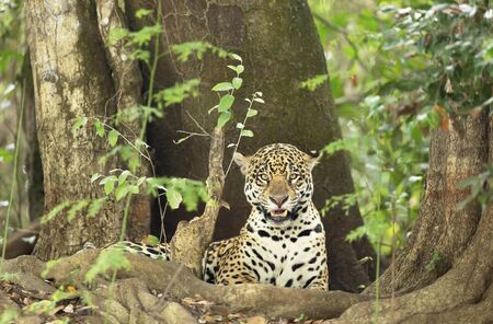 Close up of a Jaguar lying by a tree on a river bank, Pantanal, Brazil.