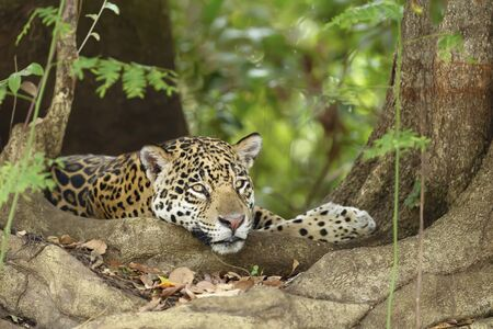 Close up of a Jaguar lying by a tree roots on a river bank, Pantanal, Brazil. Stock Photo
