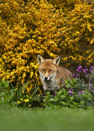 Close up of a red fox (Vulpes vulpes) in a flower garden, UK. Stock Photo - 148498482