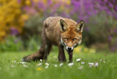 Close up of a red fox (Vulpes vulpes) in a flower garden, UK.