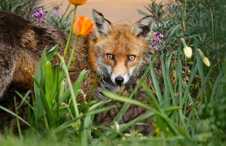 Close up of a red fox (Vulpes vulpes) standing among tulips and daffodils in a garden, spring in United Kingdom.