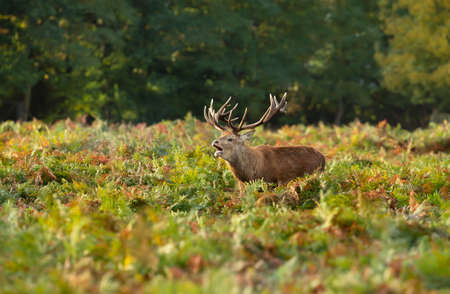 Red deer stag calling in a field of ferns during rutting season in autumn, UK.