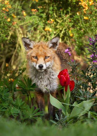 Close up of a red fox (Vulpes vulpes) surrounded by flowers in a garden, spring in UK.