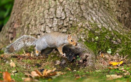 Close up of a cute grey squirrel (Sciurus carolinensis) on a tree trunk, autumn in UK.