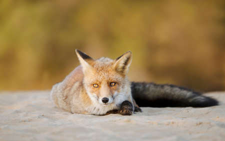Close up of a young Red fox (Vulpes vulpes) lying on sand, Netherlands.