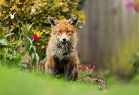 Close up of a red fox (Vulpes vulpes) sitting in green grass in a garden, United Kingdom. Stock fotó