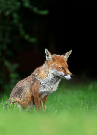 Close up of a red fox (Vulpes vulpes) sitting on green grass, United Kingdom. Stock fotó