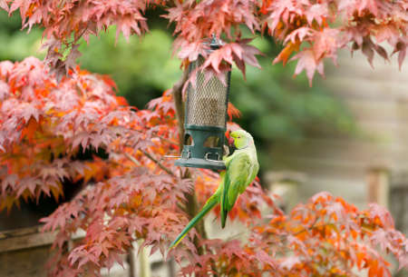 Close-up of a Ring necked Parakeet (Psittacula krameri) on a feeder in a garden, UK.