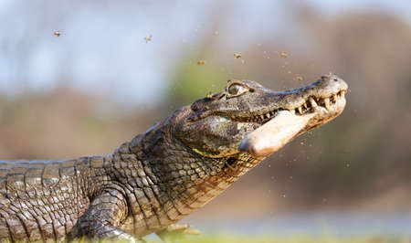Close up of a Yacare caiman (Caiman yacare) holding piranha in jaws on a river bank, South Pantanal, Brazil. Reklamní fotografie
