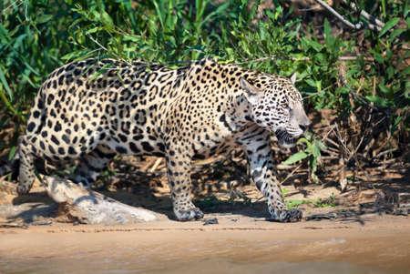 Close up of a Jaguar walking on sand along a river bank, Pantanal, Brazil.