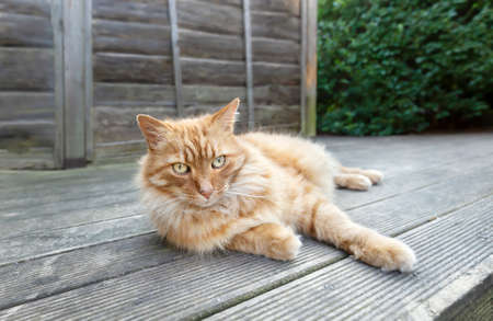 Close up of a ginger cat lying on a wooden decking in the garden.