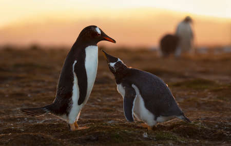 Close up of a Gentoo penguin chick asking for food, Falkland Islands.
