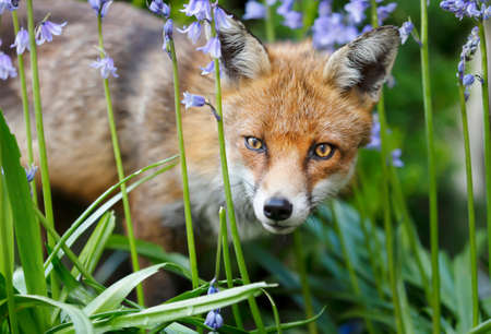 Close up of a red fox (Vulpes vulpes) with blue bells in a garden, UK.