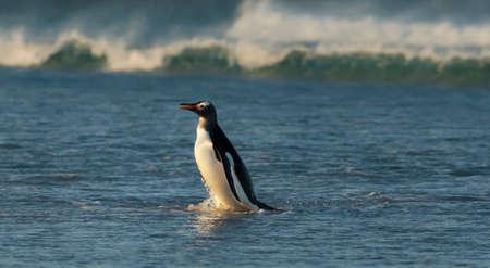 Close up of a Gentoo penguin (Pygoscelis papua) coming ashore from Atlantic ocean, Falkland Islands.