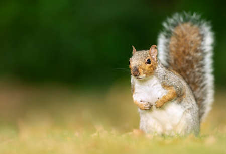 Close up of a cute grey squirrel sitting in a meadow in autumn with the tail up, UK.
