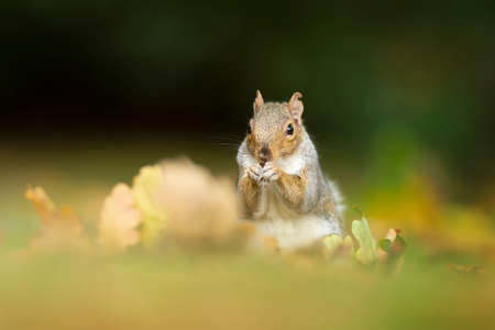 Close up of a cute grey squirrel eating nuts. Autumn in UK. Stock fotó