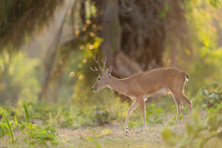 Close up of a Pampas deer grazing at sunset in forest, Pantanal, Brazil.