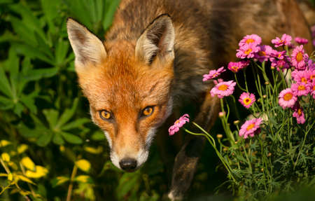Close up of a red fox (Vulpes vulpes) poking nose from a flower bed, UK.
