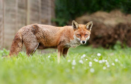 Close up of a red fox (Vulpes vulpes) standing on grass in a garden, UK.