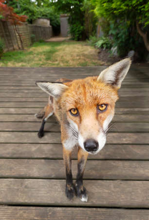Close up of a red fox (Vulpes vulpes) standing on a wooden patio decking in the garden. Stock fotó
