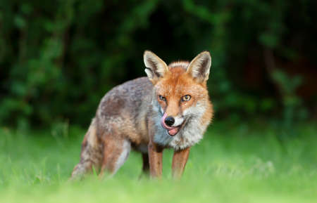 Close up of a red fox (Vulpes vulpes) standing on green grass, United Kingdom.