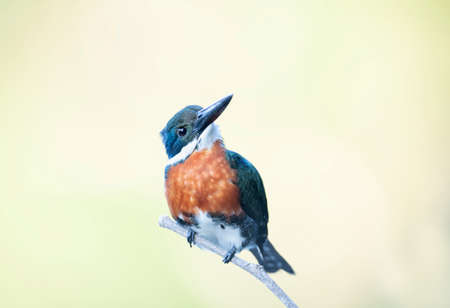Close up of a Green kingfisher perched on a branch, Pantanal, Brazil. Stock fotó