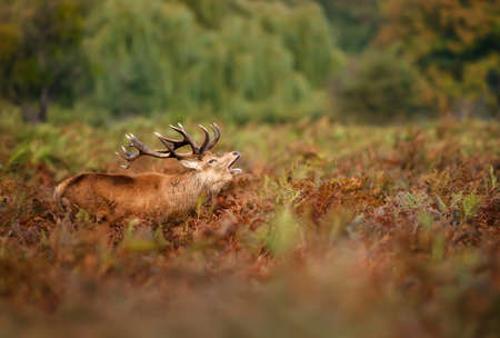 Close-up of a red deer stag calling in a field of ferns during rutting season in autumn, UK. Stock fotó