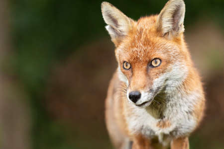 Close up of a red fox (Vulpes vulpes), UK.