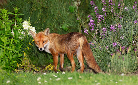 Close up of a red fox (Vulpes vulpes) standing among the flowers in a garden, United Kingdom.