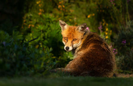 Close up of a red fox (Vulpes vulpes) sitting near green plants in sunshine, summer in England. Stock fotó