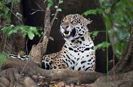 Close up of a Jaguar (Panthera onca) lying on a river bank among trees, Pantanal, Brazil. Stock Photo