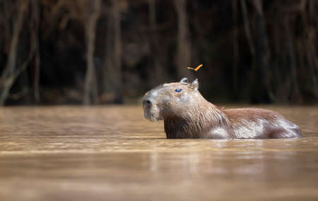 Close up of a Capybara in water with a butterfly flying near head, South Pantanal, Brazil.