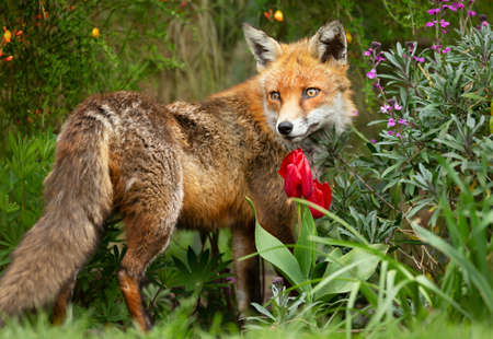 Close up of a red fox (Vulpes vulpes) standing in a bed of flowers in a garden, UK.