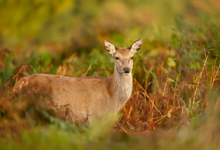 Close up of a red deer hind standing in ferns in autumn, UK. Reklamní fotografie