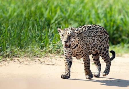 Close up of a Jaguar walking on sandy coast along a river bank, Pantanal, Brazil.
