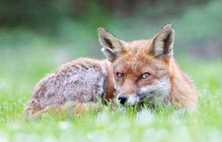 Close up of a Red fox lying on the grass, summer in UK.