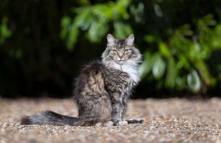 Close up of a long haired grey domestic cat standing on pebbles.