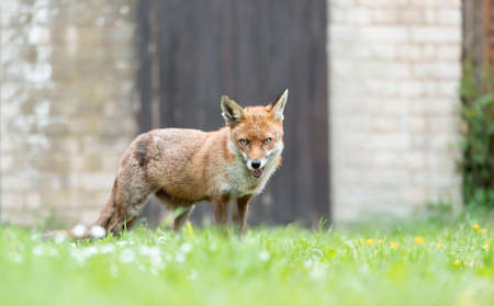 Close up of a red fox (Vulpes vulpes) standing by a shed in a garden, UK. Stock fotó