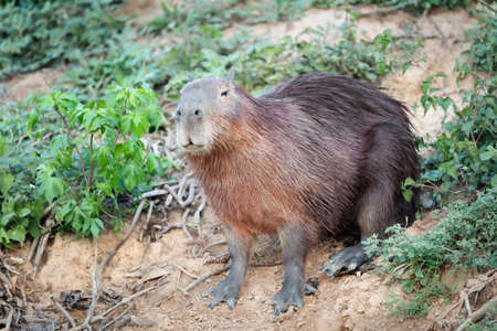 Close up of a Capybara on a sandy river bank in South Pantanal, Brazil.